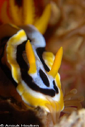 Chromodoris annae. Picture taken at Balicasag island, Phi... by Anouk Houben 